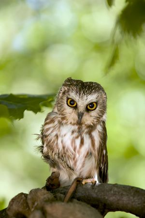 rehabilitated: Saw Whet  Owl that is injured and being rehabilitated