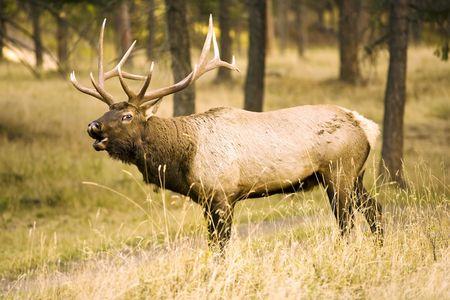 Wild Elk Calling To his herd Stock Photo