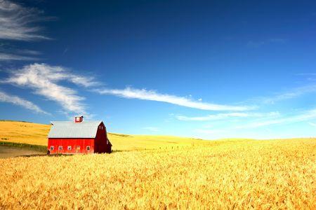 wheat harvest: Red Barn nella nebbia di un campo di grano sotto un cielo blu di puffy nube