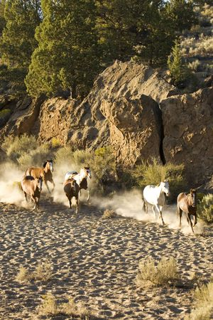 Six horses running and kicking up dust in the evening sun Stock Photo