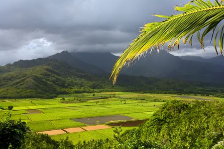 Bright leaves of the taro fields in Hanalei Kauai with mountains in the background Stock Photo - 3780972