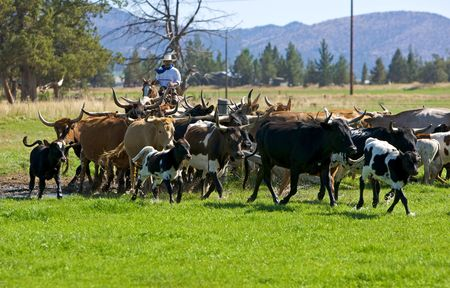 running herd of cattle Stock Photo - 3780970