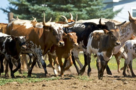 charging bull: running herd of cattle