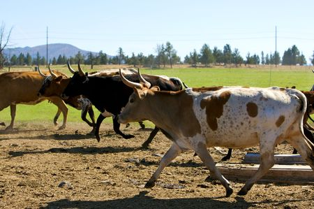running herd of cattle photo
