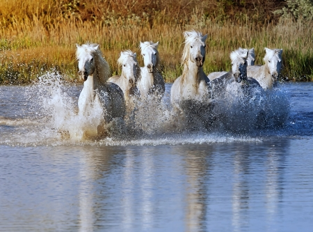 horses in the wild: Heard of White Horses Running and splashing through water