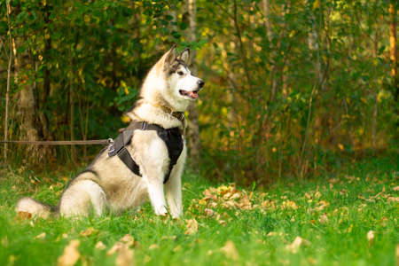Beautiful young dog of breed Alaskan Malamute sitting in the rays of the sun on a background of greenery and grass Reklamní fotografie