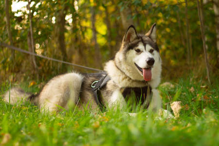 Beautiful young dog of breed Alaskan Malamute lying in the rays of the sun on a background of greenery and grass Reklamní fotografie