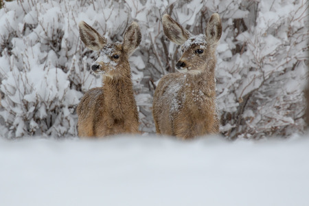 Two mule deer with snow on their faces, standing side by side and looking to the side
