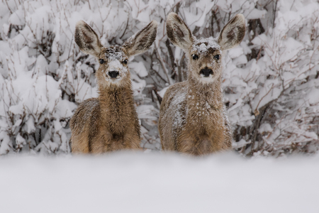 Two mule deer with snow on their faces, standing side by side and looking straight forward Stock Photo