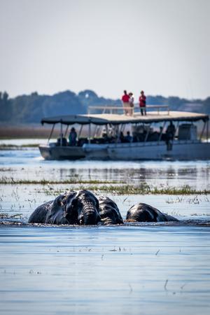 Elephants in the chobe river Stock Photo