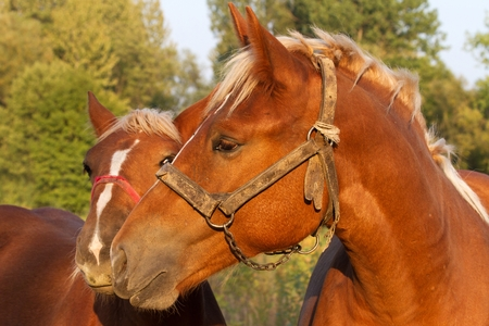 cradling: charming picture foal cradling the mare lit low, setting sun Stock Photo