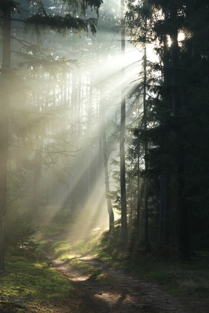 pierce: the rays of the rising sun in a charming way to pierce through the old forest