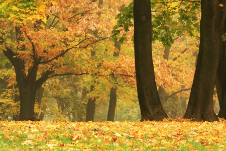 sunligh: gold colored trees in a park full of autumn leaves Stock Photo