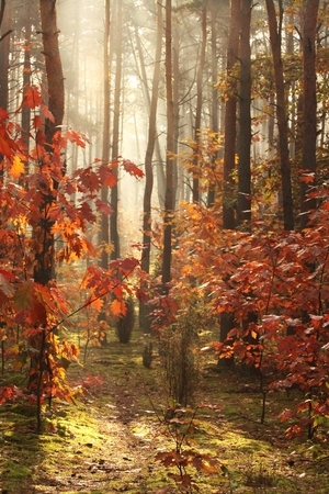 sunligh: autumn forest full of colorful, red gold leaf