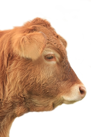 young cow: young cow, bull may, from the side, cut out