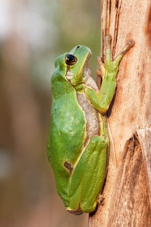 green tree frog on a dry, brown cane Stock Photo