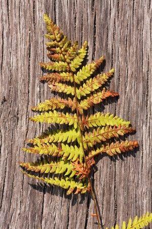 strained: strained tooth of time fern leaf on a wooden board