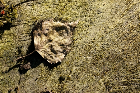 birch leaf: withered old birch leaf lying on an old tree trunk Stock Photo