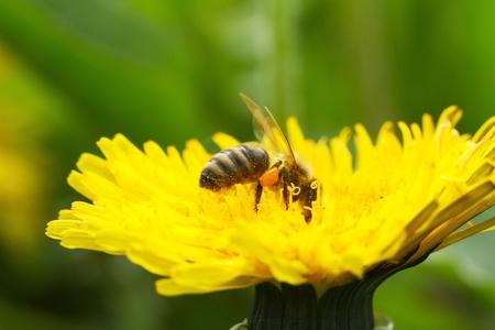 bee on yellow dandelion flower growing among green grass