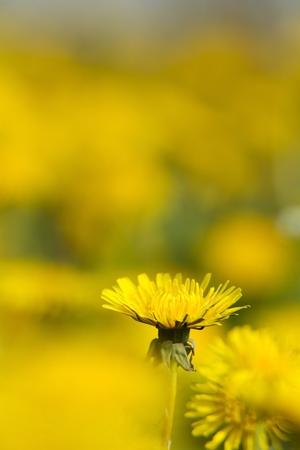 siembra: floreciente dientes de león amarillo intenso Sonchus prado verde de la primavera ligeramente soppy Foto de archivo