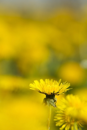 flourishing intensely yellow dandelions Sonchus slightly soppy spring green meadow Stock Photo