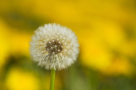 soppy: flourishing intensely yellow dandelions Sonchus slightly soppy spring green meadow Stock Photo