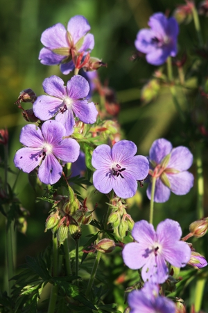 filleting small geranium pratense flowers meadow delightful freshness and delicacy
