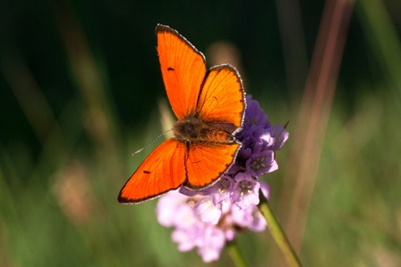 rust red: sitting on a clover flower beautiful, rust - red male Lycaena dispar Stock Photo