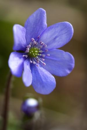 liverwort: Beautiful, purple flowers blooming in spring Common hepatica (Hepatica nobilis)