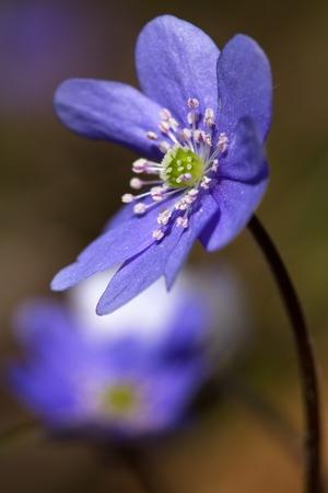 Beautiful, purple flowers blooming in spring Common hepatica (Hepatica nobilis)