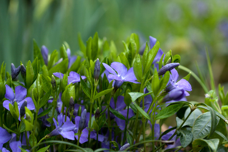 convolvulus: Convolvulus, showing its blue flowers in the green
