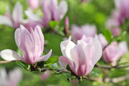 Pink magnolia flowers presenting their fresh flowers in early spring