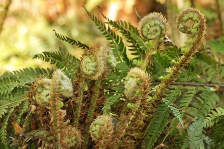 polypodiopsida: Spring ferns with leaves rolled up in the shape of snails lit by warm morning light
