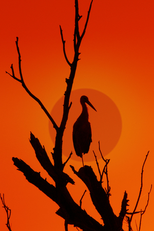 dry tree sitting on a lone stork against the background of the red sky and the sun setting