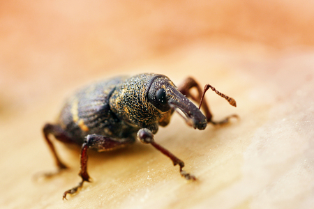 Pine Pitch (Pissodes pini) - a small beetle that is the main pest of pine forests