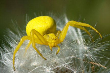 Cute, yellow spider Flowerbed (Misumena vatia) perched on a white dandelion, European Spider of the Year 2006 Stock Photo