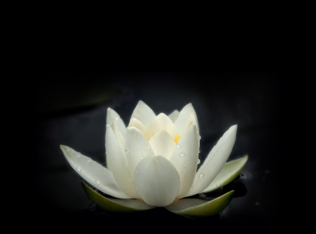 Lovely flowers White Nymphaea (White Nymphaea alba), commonly called water lily or water lily on a black water pane