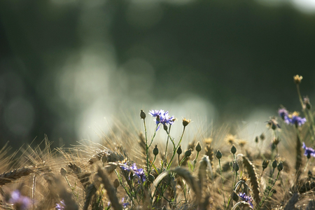 Cornflower growing above sun-drenched corn Stock Photo