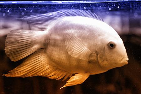 Heros severus - very nice aquarium fish with mild temperament