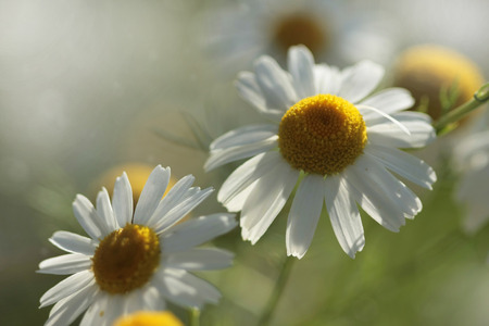 White-yellow camomile flowers in the sun