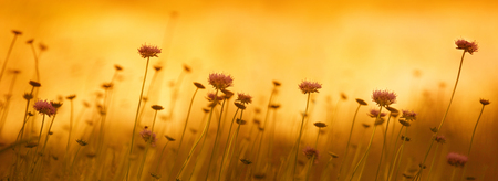 Panorama with cornflowers at sunset in orange sunset light