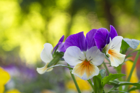 Slightly white - yellow - violet flowers of garden gardener on a very nicely blurry background Stock Photo