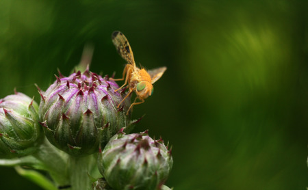 Yellow fly with green eyes sitting on thistle flowers