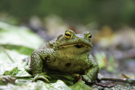 Portrait of a very nice (and photogenic) Green Toad (Bufotes viridis)