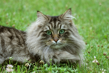 Norwegian Forest Cat (Felis catus) with green eyes lying on the grass Фото со стока
