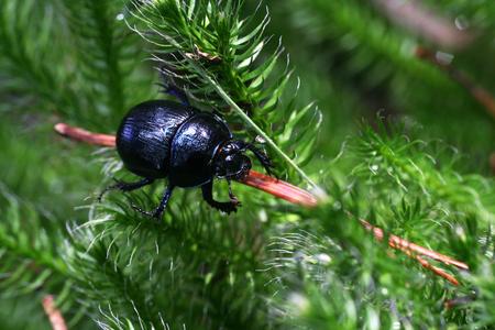 Dark blue dung beetle (Geotrupes stercorarius) walking through a green mini scrub