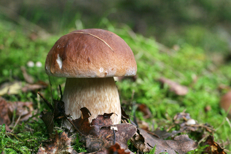Proud king of mushrooms mushroom boletus standing among the leaves and moss