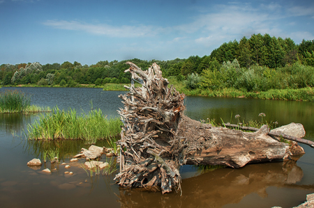 A giant tree with roots rooted out by the flood and lying calmly in shallow water, blue sky, calm