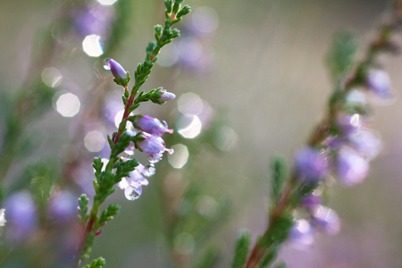 Covered with dew drops of flowering pink heather flowers