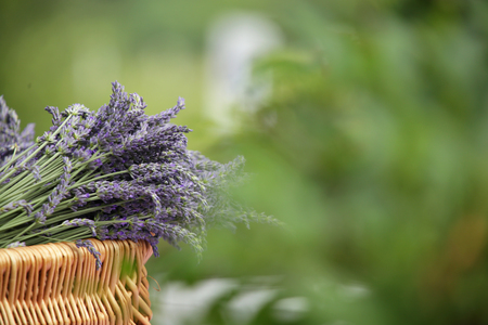 wicker basket with bruises broken by lavender with natural, nice green blur from the garden Stock Photo